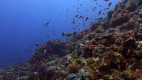 Boxfish is swimming on the reef school of fish. Amazing, beautiful underwater world Bali Indonesia and  life of its inhabitants, creatures and diving, travels stock video footage