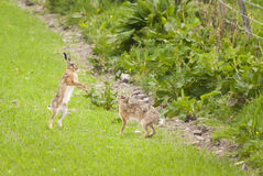 Boxing Brown Hares Stock Photos