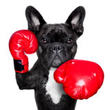 Boxing dog. French bulldog boxing dog with big red gloves Stock Photography