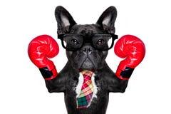 Boxing dog Stock Images