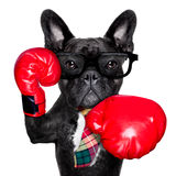 Boxing dog. French bulldog boxing dog with big red gloves businessman , manager, or secretary isolated on white background Stock Photography