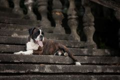A boxing dog imposingly lying on the stairs stock photos