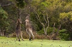 Boxing Kangaroos Stock Images