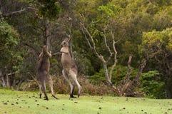 Boxing Kangaroos Stock Images