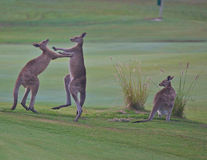 Boxing kangaroos Stock Photo