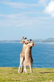 Boxing Kangaroos - Australia Royalty Free Stock Photos