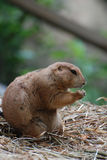Boxing Prairie Dog with His Paws Raised Stock Image