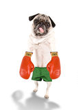 Boxing pug Royalty Free Stock Images