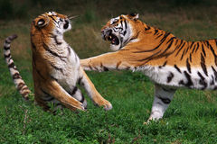 Boxing Siberian tiger Stock Photo