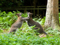 Boxing Wallabies royalty free stock photography