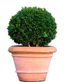 Boxwood Fotografie Stock