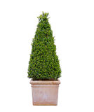 Boxwood Royalty Free Stock Images