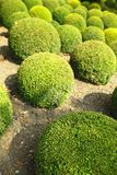 Boxwood in Amboise Stock Photo