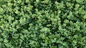Boxwood background. Boxwood green background Royalty Free Stock Images