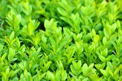 Boxwood background Royalty Free Stock Photography