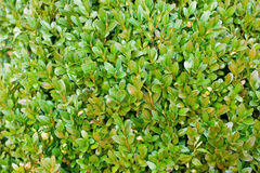 Boxwood background Stock Photos