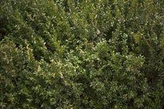 Boxwood background Royalty Free Stock Photo