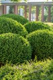 Boxwood balls cut into shape. In front of an arcade aisle stock images
