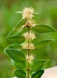 Boxwood blossom Royalty Free Stock Image