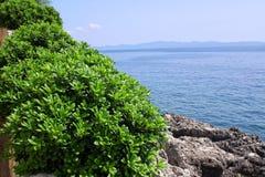 Boxwood, boxus on the Mediterranean Sea coast Stock Photo