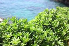 Boxwood, boxus on the Mediterranean Sea coast Royalty Free Stock Photography