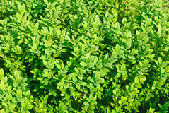 Boxwood branch as nature background stock photos