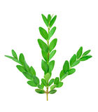 Boxwood branch. Boxwood (Buxus) branch isolated on the white background Stock Photography