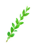 Boxwood branch. Boxwood (Buxus sempervirens) branch isolated on the white background Stock Photography