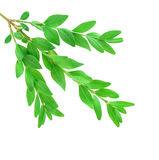 Boxwood branch Royalty Free Stock Photos