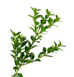 Boxwood branch on a white background Royalty Free Stock Image