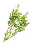 Boxwood branch on a white background Stock Photos