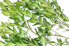 Boxwood branch on a white background Royalty Free Stock Images