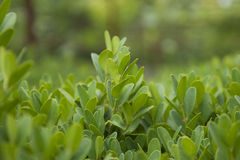Boxwood bush branch Stock Photos