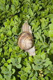 Boxwood bush with a snail Stock Image