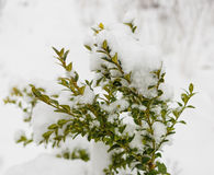 Boxwood bush winter day in the snow.  royalty free stock image