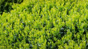 Boxwood Buxus sempervirens or European box with bright shiny young green foliage on blurred green background