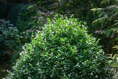 Boxwood Buxus sempervirens or European box with in landscaped garden. Boxwood Buxus sempervirens bushes