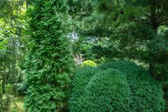 Boxwood Buxus sempervirens or European box with in landscaped garden. Trimmed boxwood Buxus sempervirens bushes