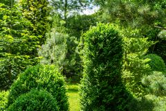 Boxwood Buxus sempervirens or European box in landscaped spring garden. Trimmed boxwood bushes with light green young leaves