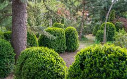Boxwood Buxus sempervirens or European box with in landscaped spring garden. Trimmed boxwood Buxus sempervirens bushes