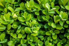 Boxwood Royalty Free Stock Image