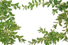 Boxwood frame. On white background Stock Image