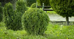 Boxwood with fresh green leafs bush in the garden. On spring Stock Photography