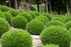 Boxwood Royalty Free Stock Photography