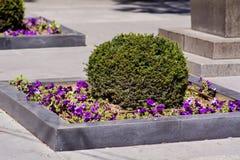 Boxwood - Green garden balls outdoor Stock Image