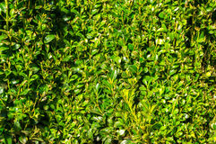 Boxwood green leaf background stock photos