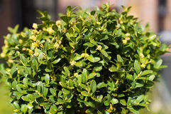Boxwood. A Green Boxwood in Spring Stock Photography