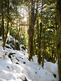 Boxwood grove in winter Royalty Free Stock Photo