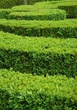 Boxwood hedge. Green boxwood hedge (Buxus sempervirens Royalty Free Stock Photo