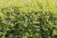Boxwood hedge. After rain closeup Stock Photos